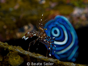 Shrimp in front of a Juvenile Emperor Angelfish by Beate Seiler