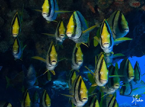 The Porkfish of Paso Cedral off the beautiful island Cozu... by Steven Anderson