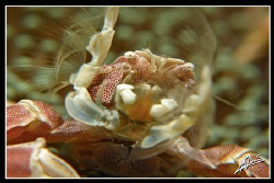 NO CROP! porcelain anemone crab SUPER close UP Canon G1... by Adriano Trapani