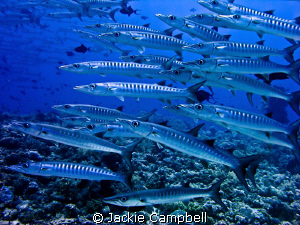 Barracuda at Shaab Rumi in Sudan. Fabulous spectacle. by Jackie Campbell