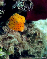 This Juvenile Cow Fish finally came out of hiding after a... by Susan Beerman