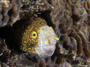 Moray eel portrait III (Echidna Nebulosa) by Bea & Stef Primatesta