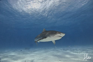 Tiger Sharks patrol Tiger Beach and mingle with many of t... by Steven Anderson
