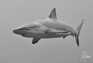 This Reef Shark cruises high above the reef at Ginormous ... by Steven Anderson