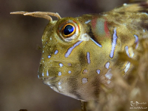 One more Blenny ;-) He lives below the jetty of our divec... by Rico Besserdich