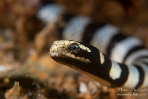 free swimming sea snake