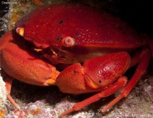 Crab (Carpilius convexus). by Bea & Stef Primatesta