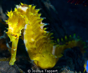 Yellow Seahorse by Joshua Tappert