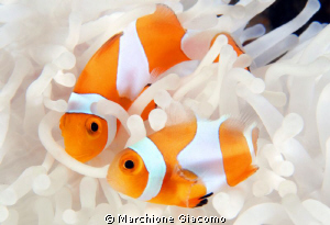 Together. Clown fishes Wakatobi 2010 Nokon D200, 60 mic... by Marchione Giacomo