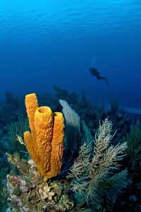 Sponges & diver by Paul Colley