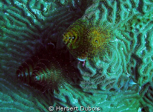 Christmas Tree Worms - Image Cropped by Herbert Dubois