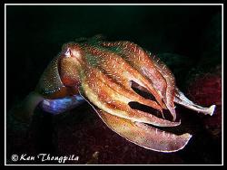 Giant cuttlefish... North Head, Sydney Harbour Divesite by Ken Thongpila