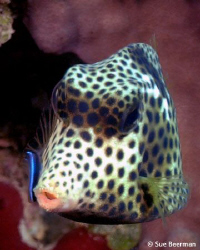 Juvenile Trunk Fish getting cleaned by a gobie by Susan Beerman