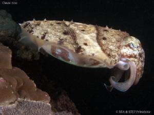 Cuttlefish. by Bea & Stef Primatesta