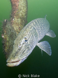 Pike photographed at Wraysbury Lake, Middlesex.
