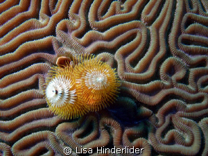 Christmas tree worm in twisty pattern of brain coral that... by Lisa Hinderlider