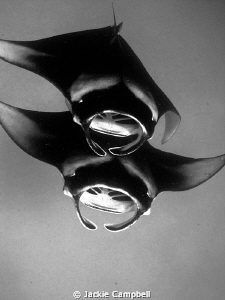 Mantas of Hanifaru. Converted to B&W as the water colour... by Jackie Campbell