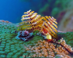 Christmas Tree Worm @ El Natural Reef Aguadilla PR; Seali... by Carlos Pérez