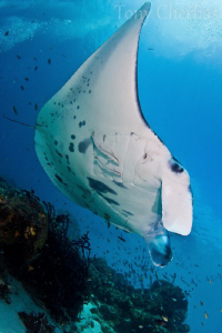 Manta Sandy by Tony Cherbas