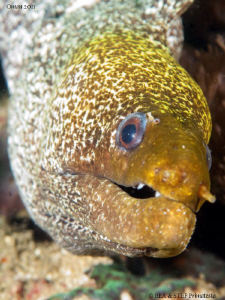 Moray eel portrait IV (Gymnothorax undulatus). by Bea & Stef Primatesta