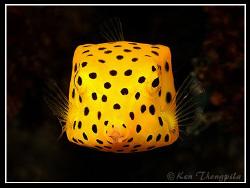 Yellow Boxfish... Similan Island Dive Site by Ken Thongpila