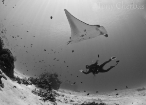 Manta vs Dolphin: Our diveguide, Dolphin Mcair, at Manta ... by Tony Cherbas