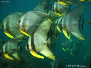 Batfish (Platax teira) in Oman's greeen water. by Bea & Stef Primatesta