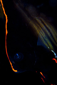 Batfish by Reidar Opem