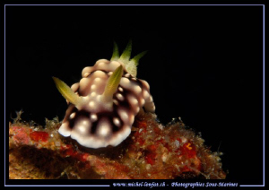 Face to face with this beautiful Nudibranch.... in the wa... by Michel Lonfat