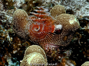 Christmas Tree worm by Stephen Hamedl