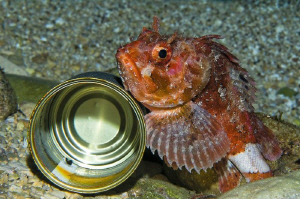 """"""" FISH AT WORK """" Maybe  this Scorpionfish wanted to bull... by Roland Bach"""
