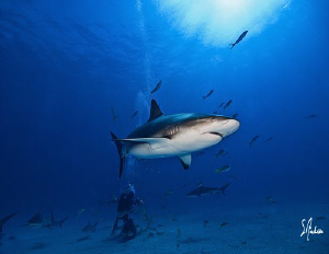 Reef Sharks everywhere as we wait and continue the lookou... by Steven Anderson