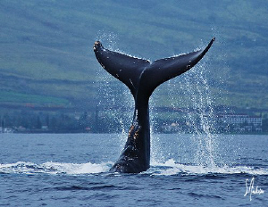 This Humpback enjoys the afternoon playing off the Maui c... by Steven Anderson