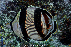 Banded Butterfly fish by Stephen Hamedl