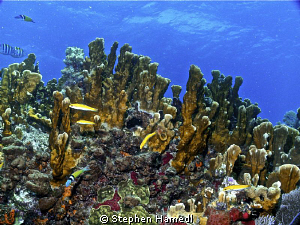 Ridge Coral by Stephen Hamedl
