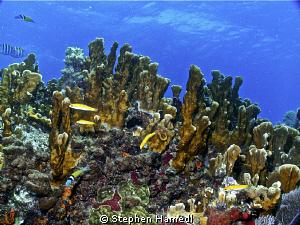 Ridge Coral by Stephen Hamedl