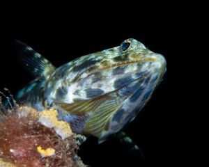 Lizardfish by Henry Jager