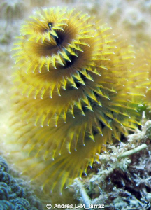Christmas tree worm, Spirobranchus giganteus by Andres L-M_larraz