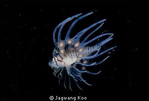 lionfish(juvenile ) by Jagwang Koo
