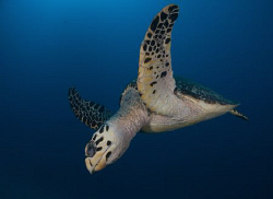Hawksbill Turtle in the Wreck of the Miss Opportunity. by Juan Torres