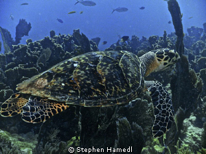 Turtle by Stephen Hamedl