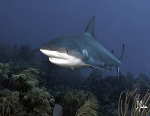 This Reef Shark was one of the larger encountered while d... by Steven Anderson
