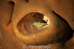 Puffer in sponge. Taken wth a self made snoot. by Hilario Itriago