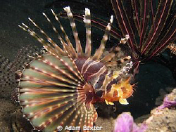 Lion fish, found on a rainy day in Amed. by Adam Baxter