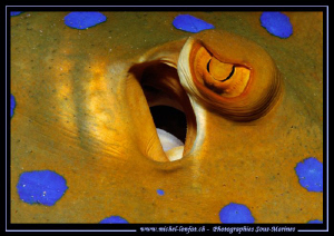 The Eye of a Bluespotted Stingray... :O)... by Michel Lonfat