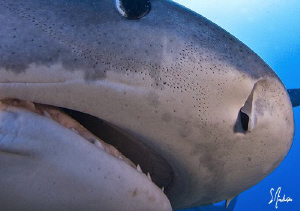 This large female Tiger Shark followed us throughout the ... by Steven Anderson