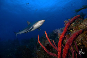 I love Reef Sharks as they always make great models and t... by Steven Anderson