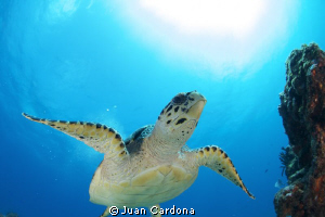 sea turtle by Juan Cardona