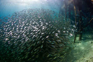 Huge school of scads at the Pearl Farm Pier by Tony Cherbas