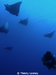 Eagle Rays in Cozumel, Mexico, north reefs of the island ... by Thierry Lannoy